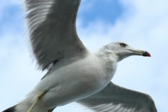 cropped-seagull-623520_1920